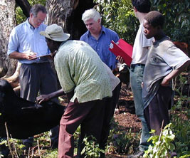 Three Canadian researchers with Kenyan farmers inspect cow.