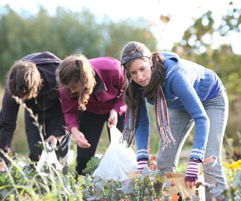 Étudiantes travaillent dans un potager pendant la récolte.