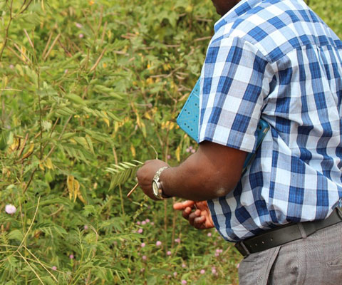 African researcher holding a blade of grass in the forest.