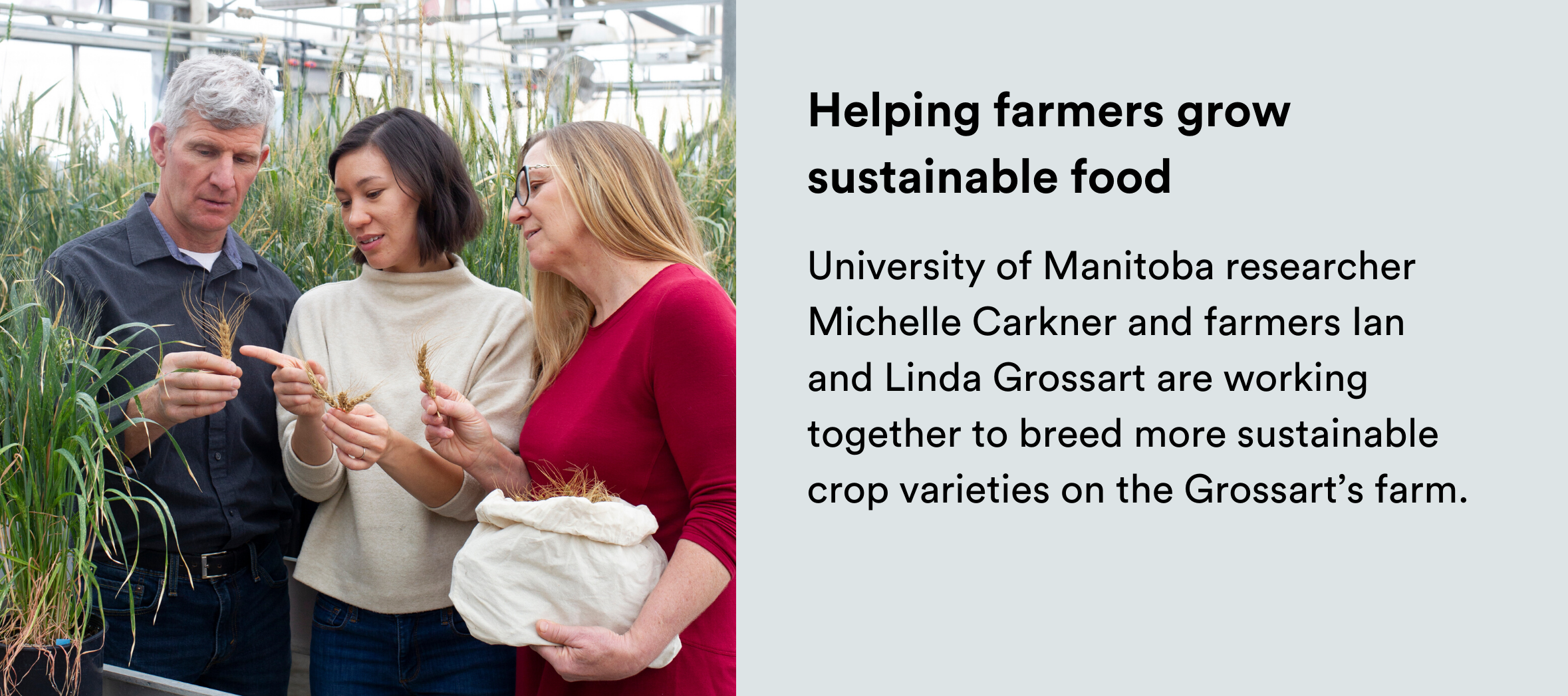 Image: A man and two women standing in a greenhouse looking at a piece of wheat. Text: University of Manitoba researcher Michelle Carkner and farmers Ian and Linda Grossart are working together to breed more sustainable crop varieties on the Grossart's farm.